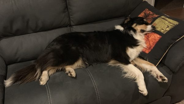 Dog relaxing on the couch